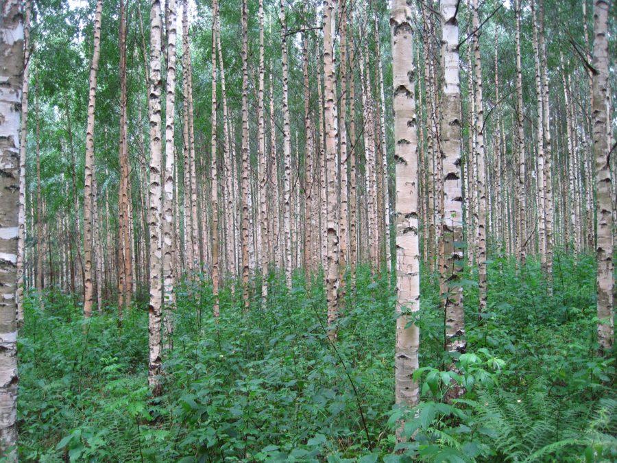 Birk Betula