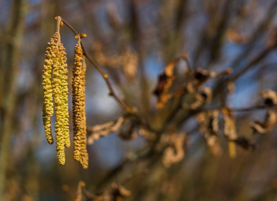 Elletræet pollen allergi sæson